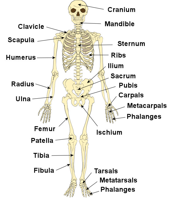 Bones of the Human Body Use this chart to fill in your assignment, be ...